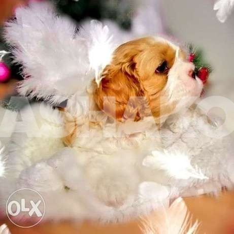 The Cavalier King Charles Spaniel is a che...