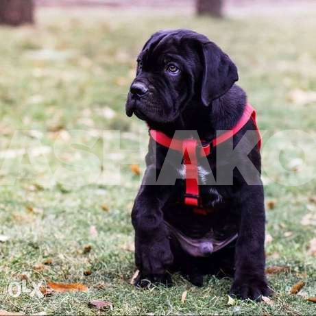 Puppies of Cane Corso (the boy of black co...