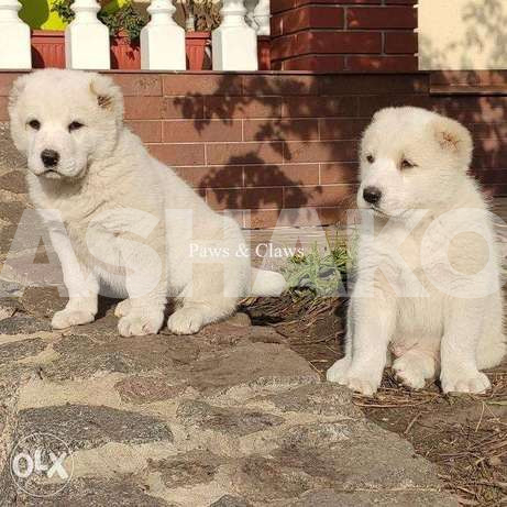 I sell purebred puppies of the Central Asi...