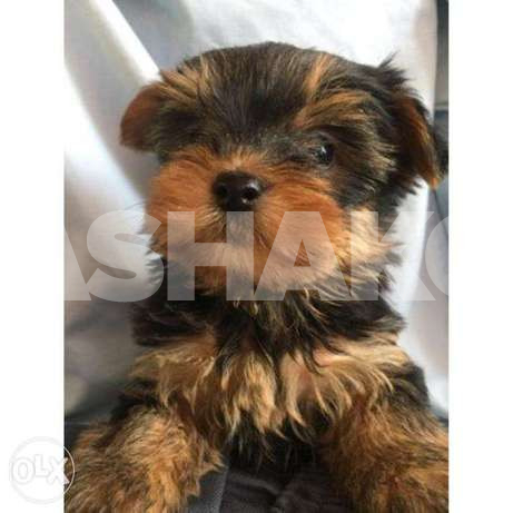 Yorkshire Terrier Best Quality