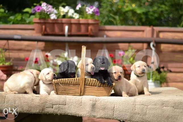 Labrador Puppies Imported With All Documen...