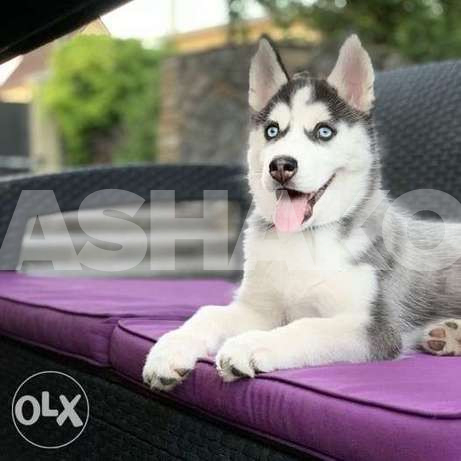 Husky waiting for the most loving and resp...