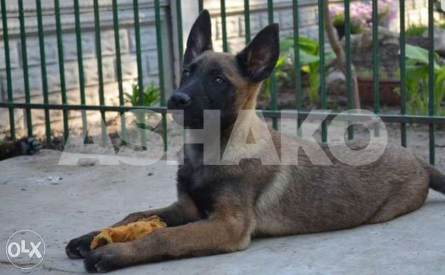 Best Malinois Puppies Imported With Passpo...