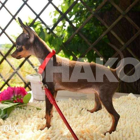 Affectionate Toy terrier