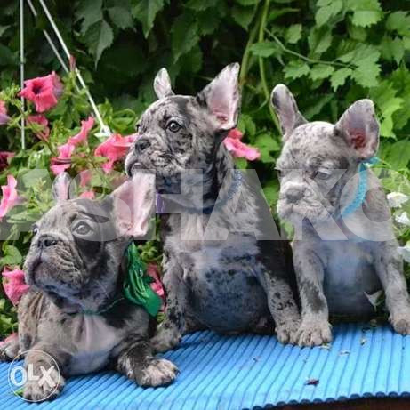 Handsome boys color merle french bulldog