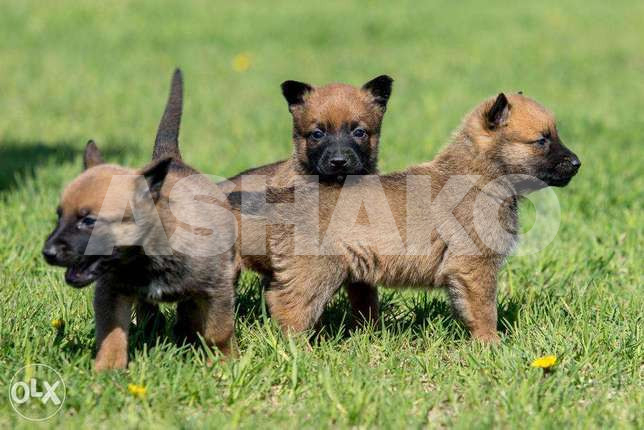 malinois puppies males and females